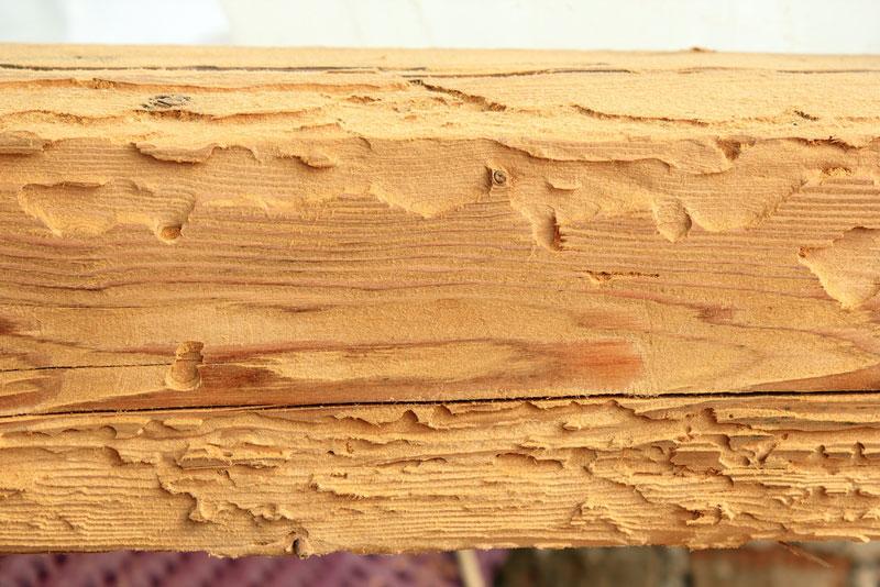 Hausbockkäferbefall an Fichtenholz